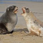 leones marinos de nueva zelanda