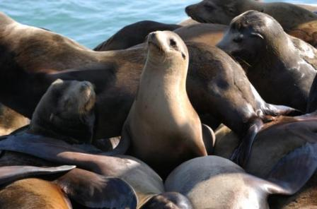 leones marinos de california