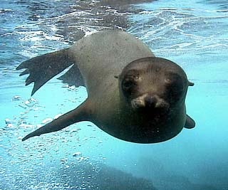 leon marino de galapagos