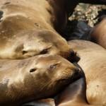 grupo de leones de mar