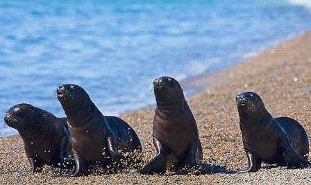 leones marinos suramericanos