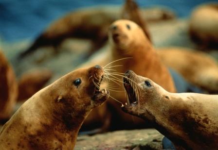 grupode leones marinos stteler
